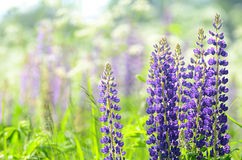 Flowers lupin in the field closeup Stock Image