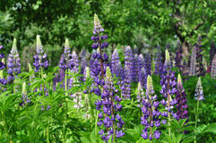 Flowers lupine Royalty Free Stock Photo