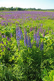 Flowers lupine, Central Russia. Purple flowers lupine, Central Russia Royalty Free Stock Image