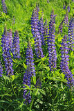 Flowers lupine, Central Russia. Purple flowers lupine, Central Russia Royalty Free Stock Photo