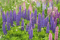 Flowers lupins Royalty Free Stock Photo