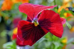 Flowers, macro, Pansies with extreme shallow depth of field Royalty Free Stock Photo