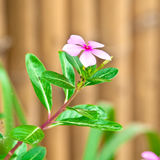 Flowers of Madagascar periwinkle Royalty Free Stock Photo