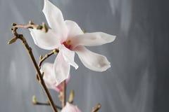 Flowers magnolia in glass vase. Magnolia stellata . Still life. Flowers magnolia in glass vase Magnolia stellata . Still life Stock Photos