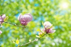 Flowers of Magnolia soulangiana Stock Image