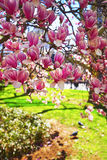 Flowers of Magnolia Tree Blossom in City Hall Park Royalty Free Stock Photos