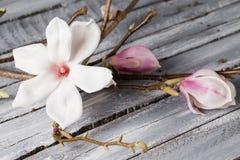 Flowers magnolia on wood table. Magnolia stellata . Still life. Flowers magnolia on wood table. Magnolia stellata . Still life Stock Photos