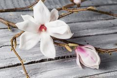 Flowers magnolia on wood table. Magnolia stellata . Still life. Flowers magnolia on wood table. Magnolia stellata . Still life Royalty Free Stock Image