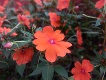 Flowers at Mahabaleshwar Mapro Garden stock photos