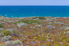 Flowers in Malhao beach,  Vila Nova de Milfontes. Alentejo, Portugal Royalty Free Stock Images