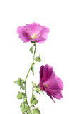 Flowers of mallow Stock Image