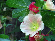 Flowers of the mallow. Hollyhocks blooming outdoors in the summer garden Stock Images