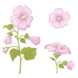 Flowers mallow, isolated Royalty Free Stock Photography