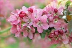Flowers Malus prunifolia Stock Photos