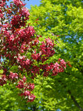 Flowers of Malus Royalty crab apple trees. In spring Royalty Free Stock Photos