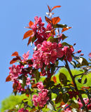 Flowers of Malus Royalty crab apple trees. In spring Stock Photography