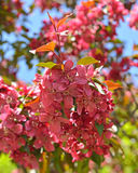 Flowers of Malus Royalty crab apple trees. In spring Stock Photos