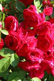Flowers - many blooming red roses bunched together on a rose bush. Russia stock photo