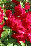 Flowers - many blooming red roses bunched together on a rose bush. Russia royalty free stock photography