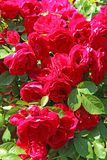 Flowers - many blooming red roses bunched together on a rose bush. Russia royalty free stock images