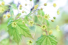 Flowers of a maple tree. On a green background Stock Photography