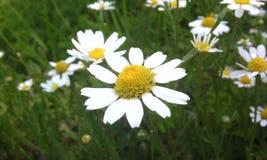 Flowers margaretas. White flowers margareta on the meadow Stock Photo