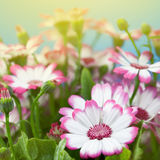 Flowers marguerites Royalty Free Stock Photos