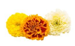 Flowers marigold isolated Stock Image