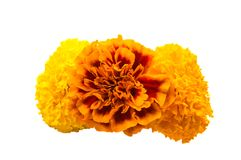 Flowers marigold isolated Stock Images