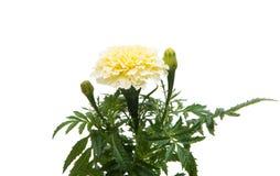 Flowers marigold isolated Royalty Free Stock Photo