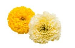 Flowers marigold isolated Stock Photography