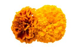 Flowers marigold isolated Royalty Free Stock Images