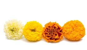 Flowers marigold isolated Royalty Free Stock Photos