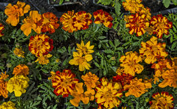 Flowers marigold Royalty Free Stock Photo