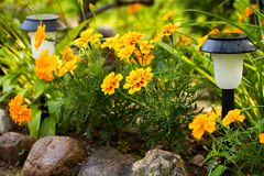 Flowers Of Marigold Tagetes Erecta With Solar Garden Light In. Beautiful Flowers Of Marigold Tagetes Erecta With Solar Garden Light In Flower Bed After Rain In royalty free stock image