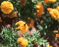 The flowers are marigolds and butterfly. Butterfly sitting on a flower and drinks the nectar royalty free stock photo