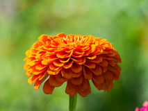 Flowers Marigolds Stock Images