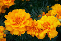 Flowers marigolds. In the garden in summer bloom Royalty Free Stock Images