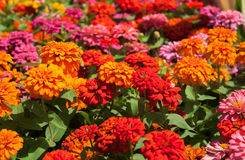 Flowers marigolds. The multicolored flowers of marigolds Royalty Free Stock Photo