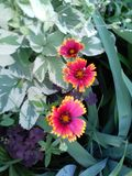 Flowers marigolds stock photo