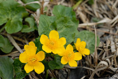 Flowers of Marsh marigolds (Caltha palustris) Stock Photos