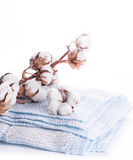 Flowers mature cotton Royalty Free Stock Images