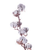 Flowers mature cotton Stock Images