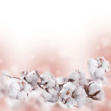 Flowers mature cotton Stock Photos
