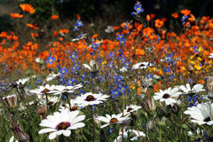 Flowers meadow. A flower's meadow in Cape Town - South Africa Royalty Free Stock Image