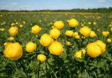 Flowers on meadow. Yellow flowers on green field close-up Stock Photos