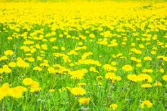 Flowers meadow. Green meadow full off yellow spring flowers royalty free stock photos