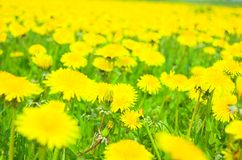 Flowers meadow. Green meadow full off yellow spring flowers stock photo