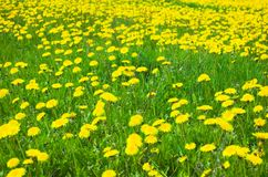 Flowers meadow. Green meadow full off yellow spring flowers stock image