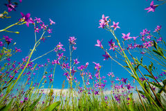 Flowers in a meadow Royalty Free Stock Photography